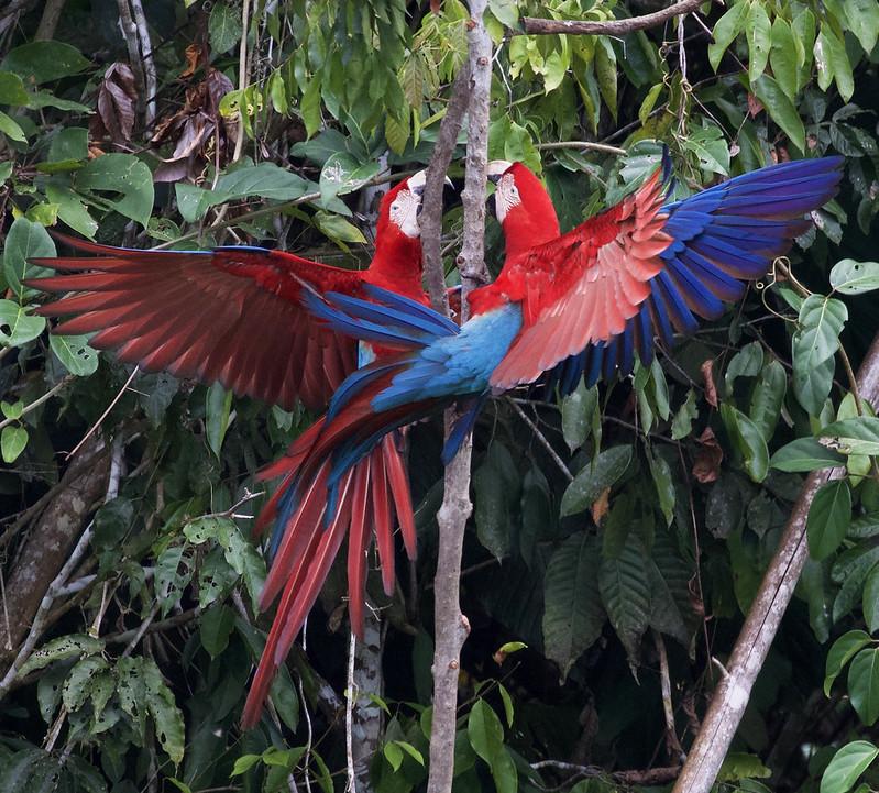 Red-and-green Macaw_Ara chloropterus_Manu_Ascanio_199A2375