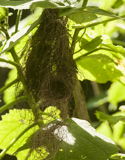 Tolmomyias sulphurescens // Yellow-olive Flycatcher Nest | by Giselle Mangini