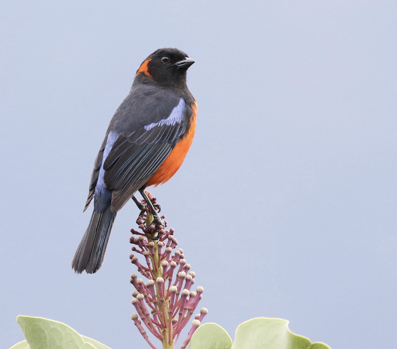 Scarlet-bellied Mountain-Tanager 2 199A8692