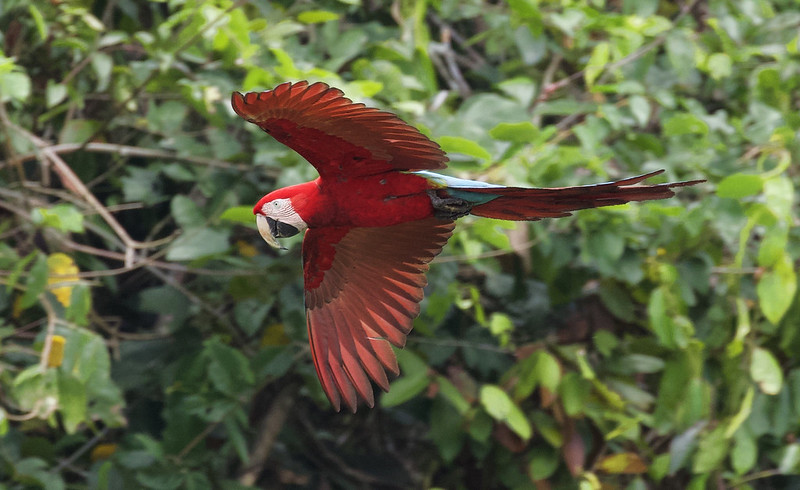 Red-and-green Macaw_Ara chloropterus_Manu_Ascanio_199A2339