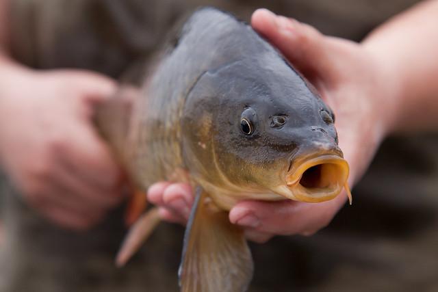 Common carp (invasive)