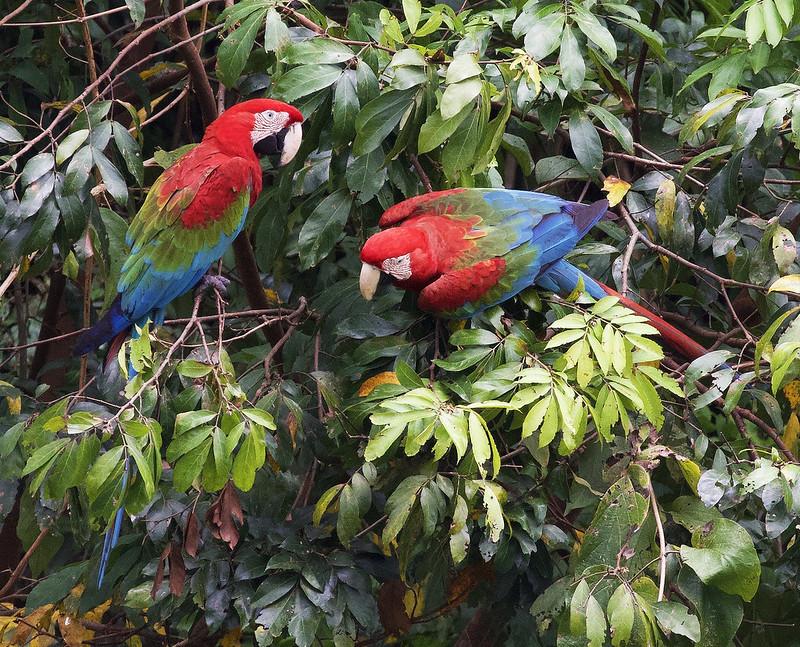 Red-and-green Macaw_Ara chloropterus_Manu_Ascanio_199A2320