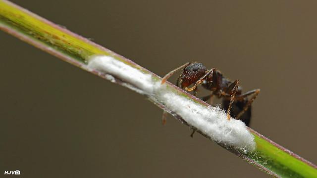 Valentine Ant