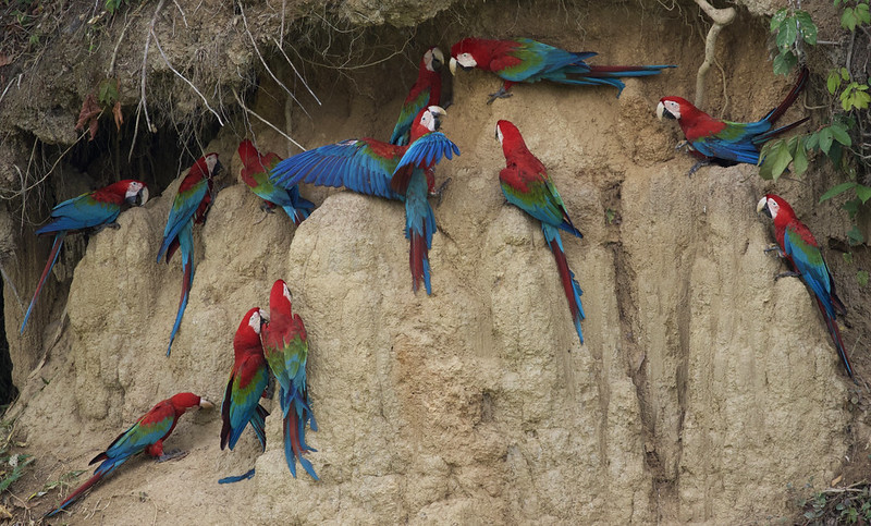 Red-and-green Macaw_Ara chloropterus_Manu_Ascanio_199A2629