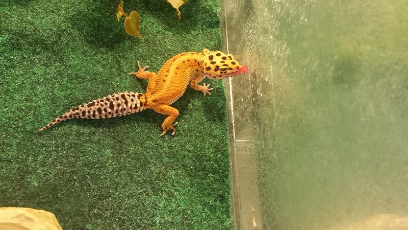 Thirsty leopard gecko