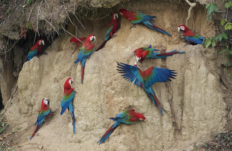 Red-and-green Macaw_Ara chloropterus_Manu_Ascanio_199A2641
