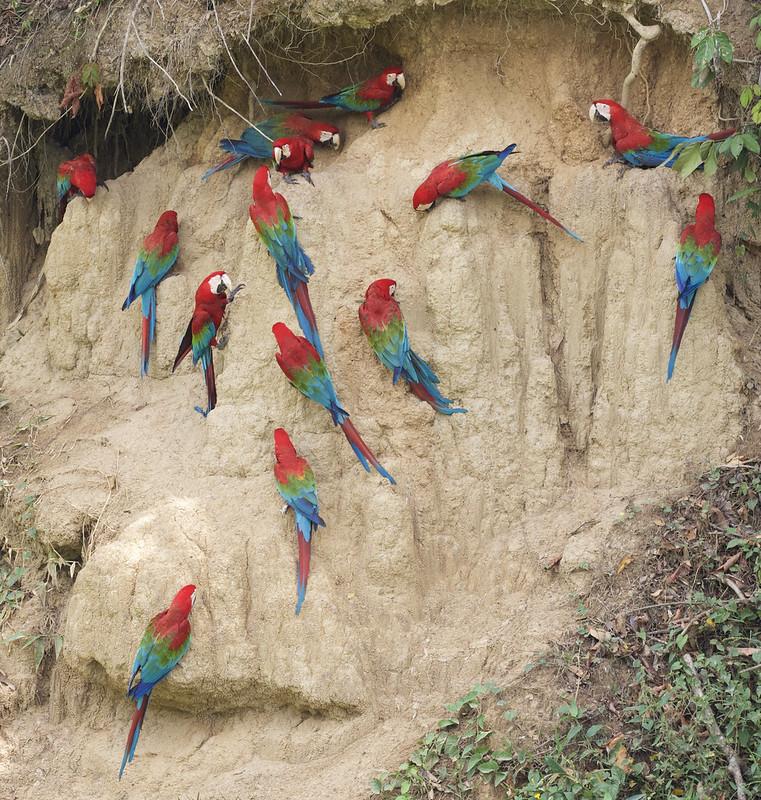 Red-and-green Macaw_Ara chloropterus_Manu_Ascanio_199A2591