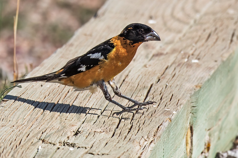 Black-headed-Grosbeak-9-7D2-082419