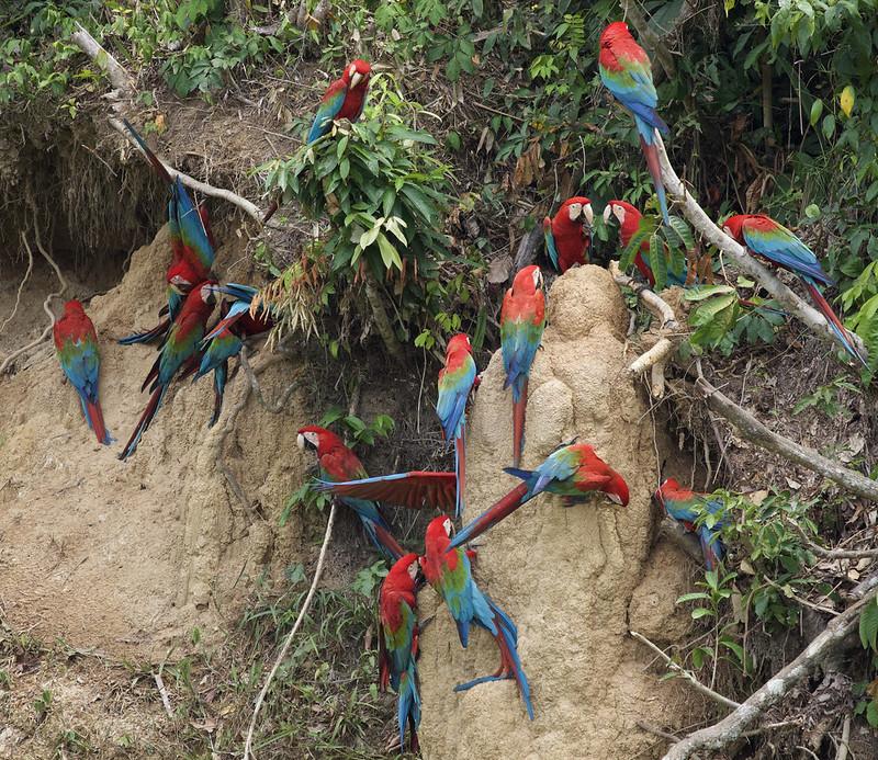 Red-and-green Macaw_Ara chloropterus_Manu_Ascanio_199A2576