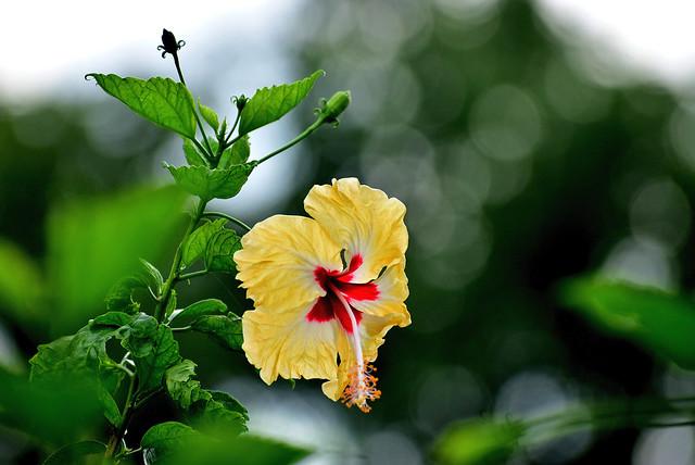hibiscus beauty!! [DSC_3875]