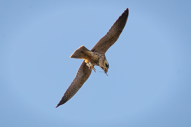 Hobby b Minsmere 28th Sept 19 1DXII