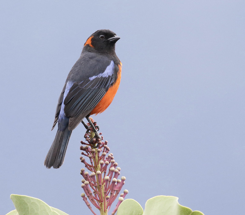 Scarlet-bellied Mountain-Tanager 199A8692
