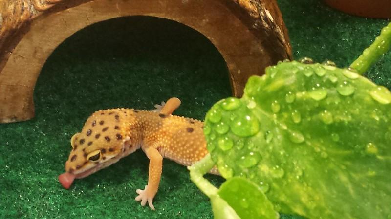 Thirsty leopard gecko 1