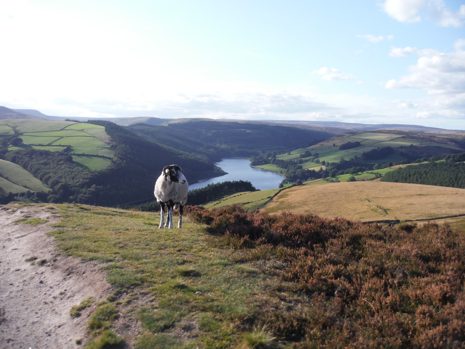 Evening View (with sheep) up Ladybower Reservoir, from Six-Way Junction SWC Walk 348 - Ladybower Inn Circular (via Derwent Edges and Strines)
