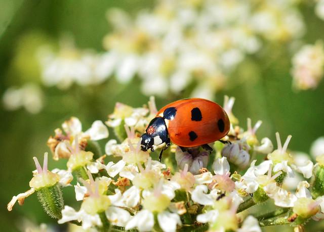 2019_07_16_tues_134_cr01_7spot_ladybird