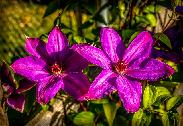Two Vignette Purple Clematis