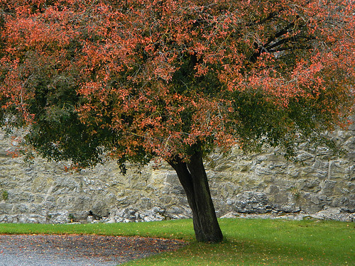 Fall colour of a tree in the Cahir Castle Park, Ireland