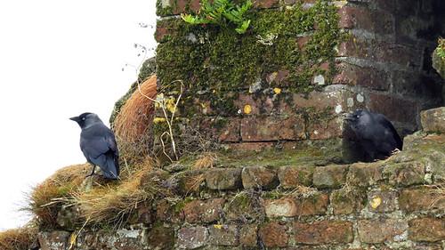 Les oiseaux nichent dans les murs de pierre des ruines du fort Charles à Kinsale, Irlande