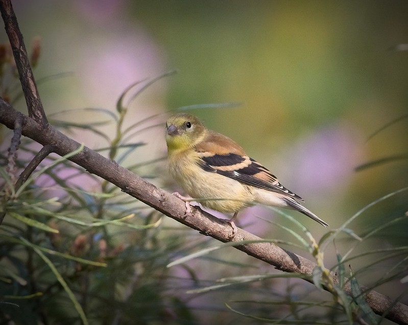 Goldfinch in Brooklyn Botanical Garden
