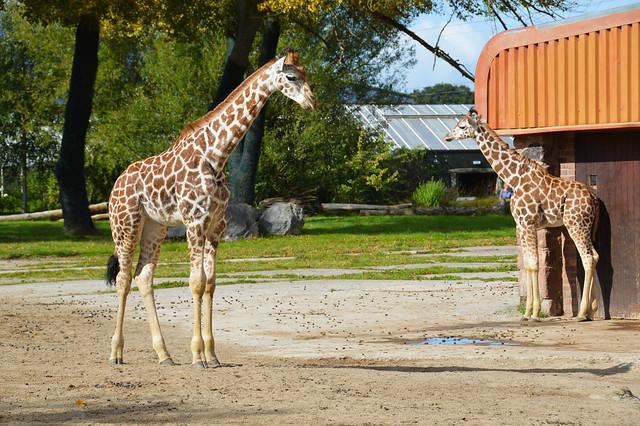 Rothschild's Giraffe Calves (Giraffa camelopardalis rothschildi)