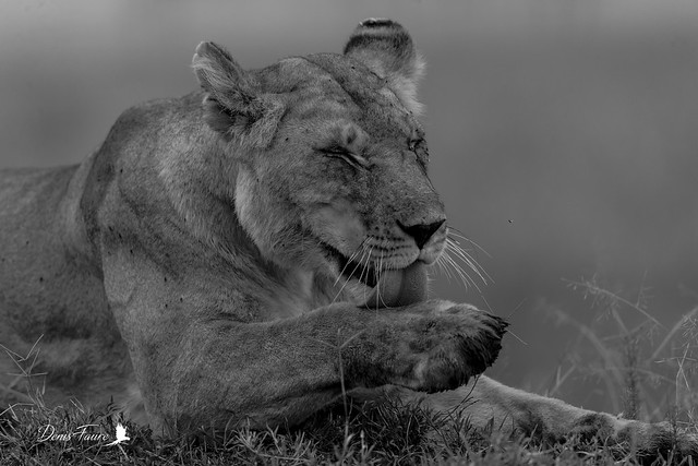 Lion d'Afrique - Panthera leo leo