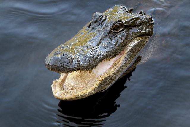 Alligator. Reptile.