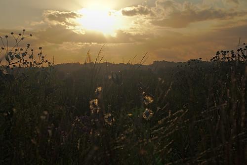 milkweed sunset meadow