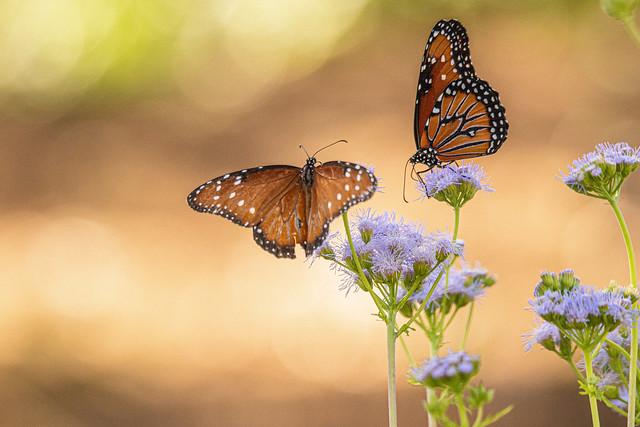 Two queen butterflies