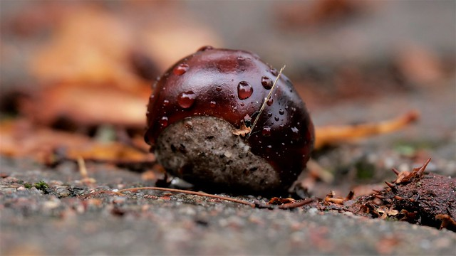 Chestnut 29 Sep