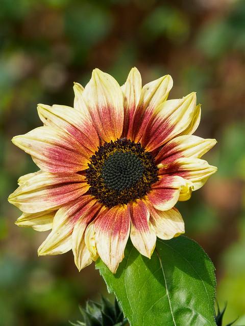 Sunflowers-F9240081