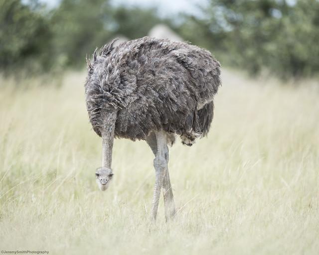 Ostrich, Struthio camelus, Hwange National Park, Zimbabwe