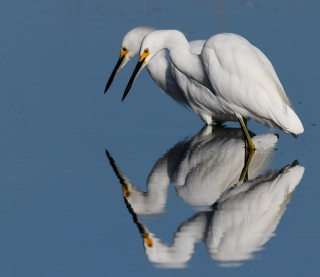 Pair of Snowy Egrets