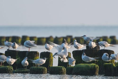 ngc sunrise baltic gulf gdansk birds sea landscape nikon d500 poland polska babie doły gdynia bird nature wings sandwichtern tern thalasseussandvicensis rybitwaczubata puckbay feeding fish herring bokeh