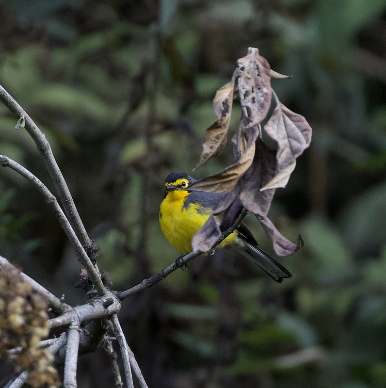 Spectacled Redstart_Myioborus melanocephalus_Manu_Peru_199A9102