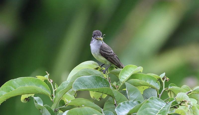 Short-crested Flycatcher_Myiarchus ferox_Manu_Ascanio_199A2094