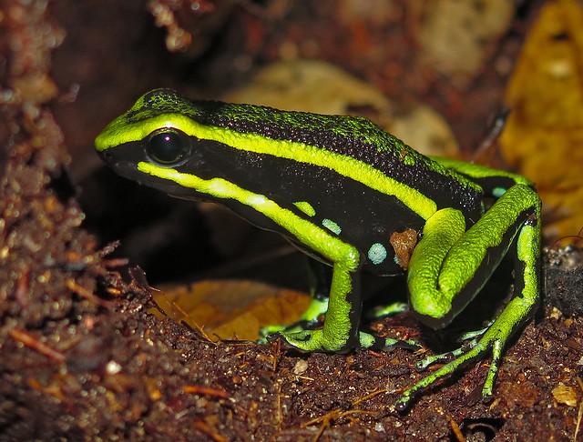 Poison-dart Frog - Ameerega sp.