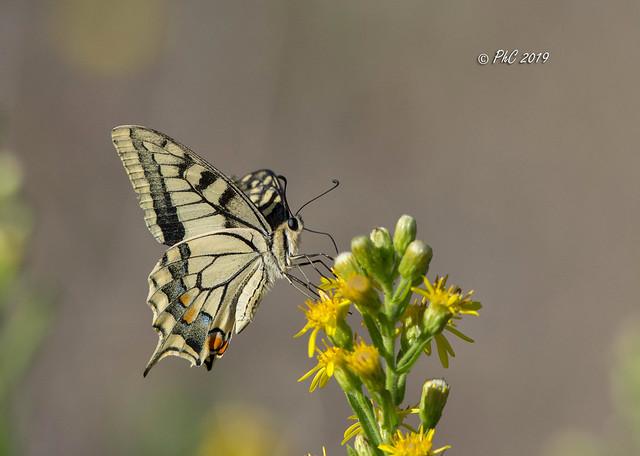 papillon Machaon sur fleur de seneçon