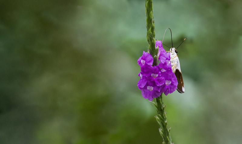 Unknwon butterfly_Manu_Ascanio_199A9809