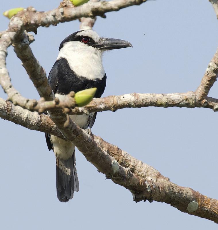 White-necked Puffbird_Notharchus hyperrhynchus_Manu_Ascanio_199A3177