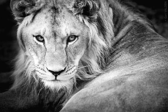 She-Lion (Explore)
