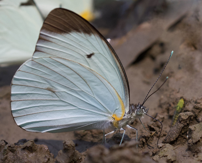 Unknown butterfly_Manu_Ascanio_199A3288
