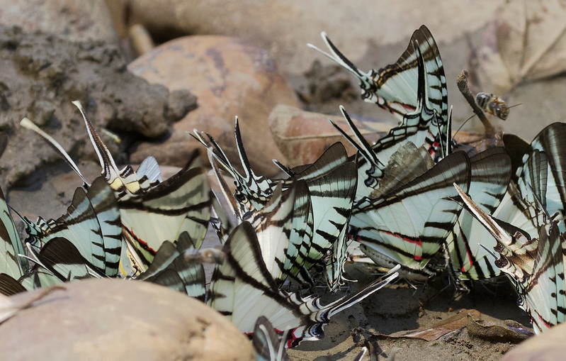 Unknown butterfly_Manu_Ascanio_199A3278