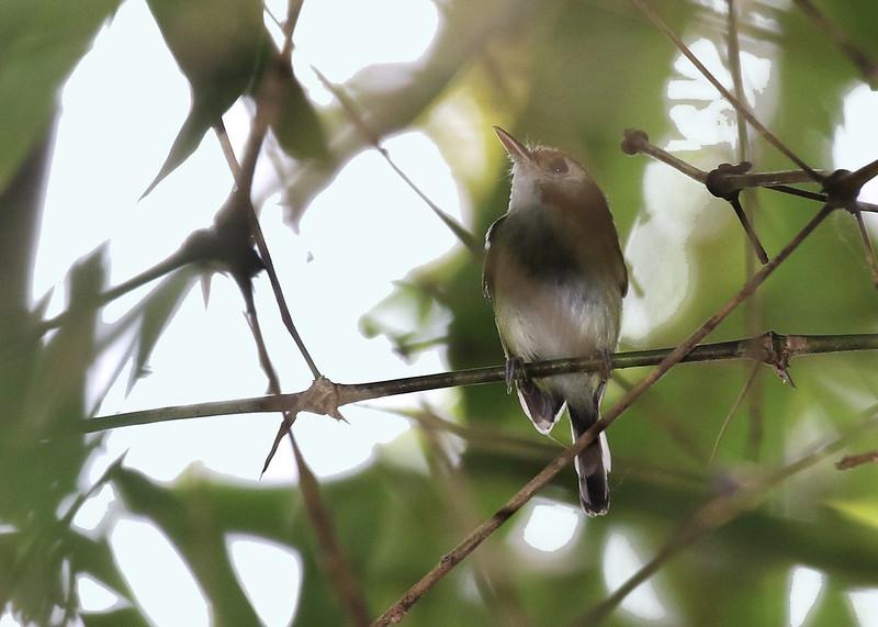 White-cheeked Tody-Flycatcher_Poecilotriccus albifacies_Manu_Ascanio_199A1853