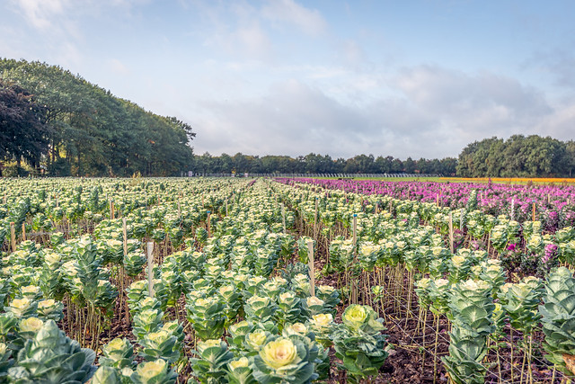 Long flower beds with colorful ornamental cabbage plants