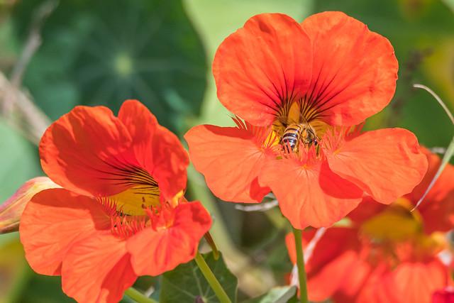 Orange Red Nasturtium Wildflowers and Honey Bee