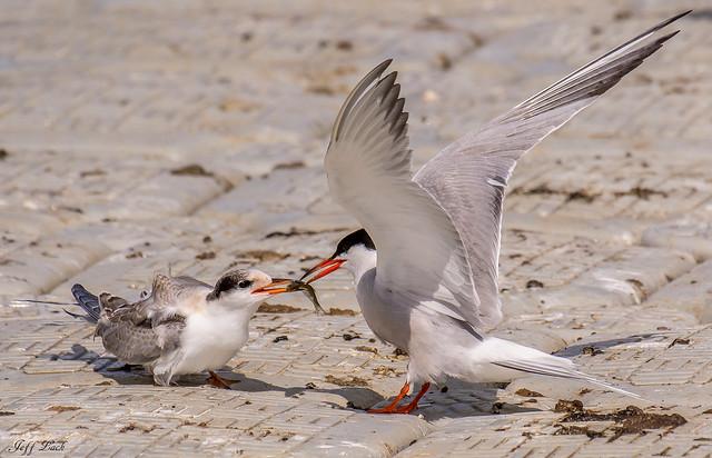 DSC2857  Common Terns...