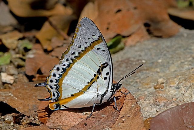 Polyura nepenthes - the Shan Nawab