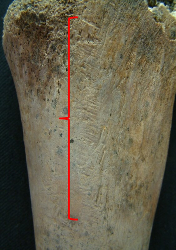 A long bone annotated with a red line to highlight a series of linear scratch marks on both of them