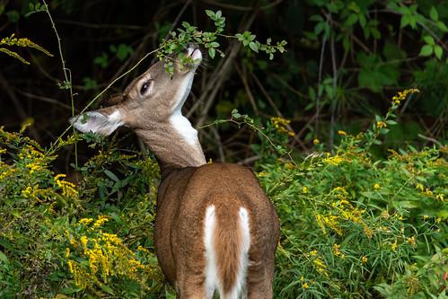 acushnet massachusetts unitedstatesofamerica deer nature d850 newengland