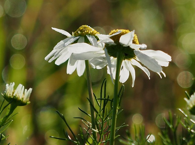 One of the Daisy family, possibly Mayweed. 30/09/2019